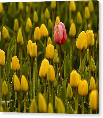 One Tulip Canvas Print