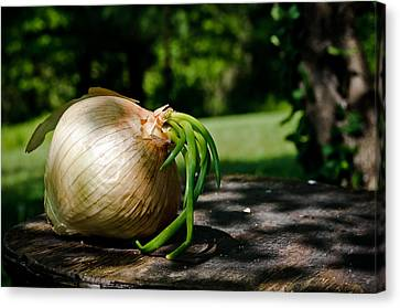 Onion In The Sun Canvas Print by Lori Coleman