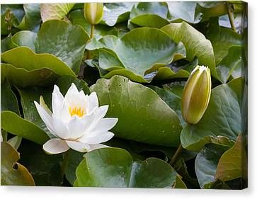 Open And Closed Water Lily Canvas Print by Semmick Photo