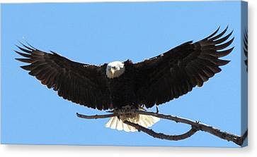 Open Winged Bald Eagle Canvas Print by Mitch Spillane