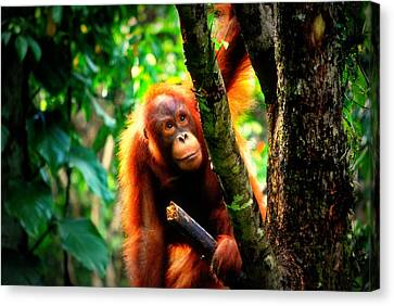 Canvas Print featuring the photograph Orang-utan by Lynn Hughes