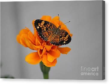 Orange Butterfly 2 Canvas Print
