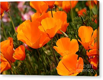 Orange California Poppy . 7d14754 Canvas Print by Wingsdomain Art and Photography