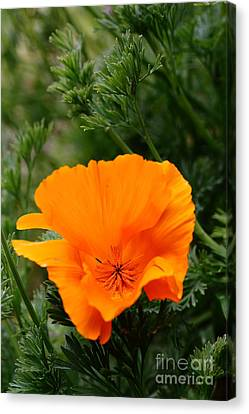 Orange California Poppy . 7d14778 Canvas Print by Wingsdomain Art and Photography