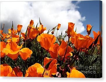 Orange California Poppy . 7d15016 Canvas Print by Wingsdomain Art and Photography