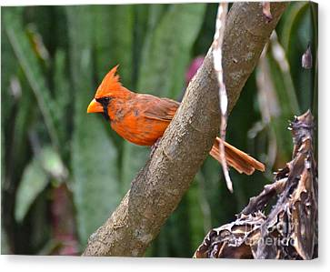 Orange Cardinal Canvas Print by Carol  Bradley