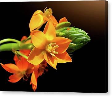 Orange Chincherinchee Canvas Print by Gitpix