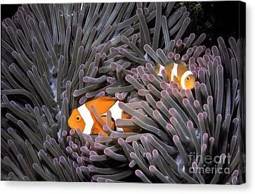 Orange Clownfish In An Anemone Canvas Print by Greg Dimijian