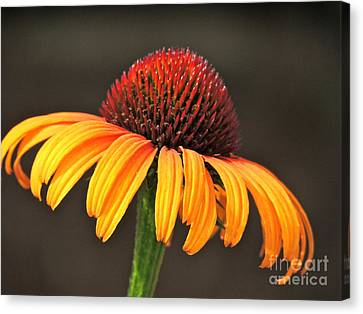 Canvas Print featuring the photograph Orange Crown by Eve Spring