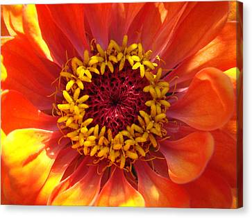 Canvas Print featuring the photograph Orange Daisy by Ronda Broatch