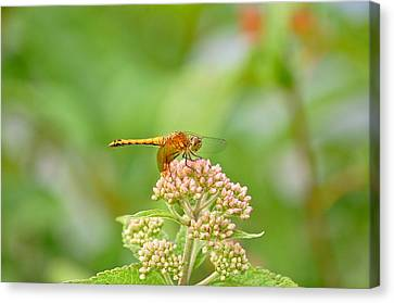 Orange Dragonfly Canvas Print by Mary McAvoy
