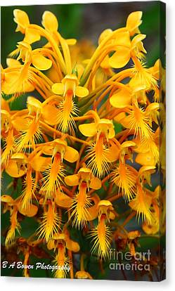 Orange Fringed Orchis Canvas Print by Barbara Bowen