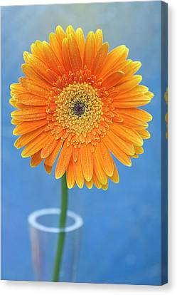 Orange Gerbera Daisy  Propped In Glass Vase Canvas Print by Photography by Gordana Adamovic Mladenovic