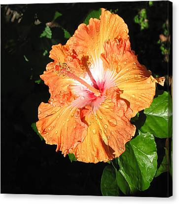 Orange Hibiscus After The Rain 1 Canvas Print by Connie Fox