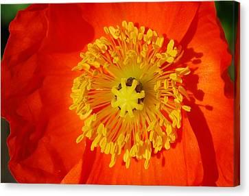 Orange Icelandic Poppy Canvas Print by Marilynne Bull