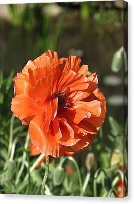 Canvas Print featuring the photograph Orange Poppy by Rebecca Overton