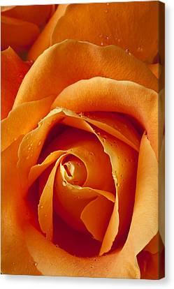 Orange Rose Close Up Canvas Print by Garry Gay