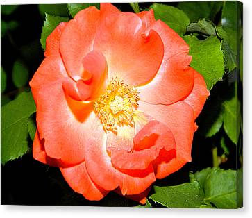 Canvas Print featuring the photograph Orange Rose  by Ester  Rogers