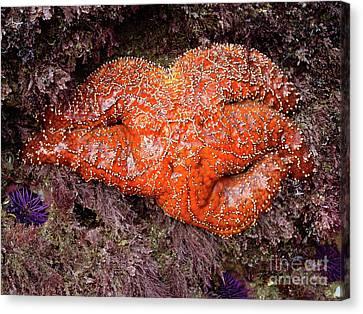 Orange Sea Star Canvas Print by Mariola Bitner