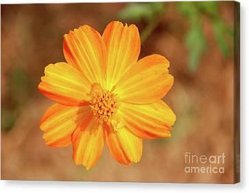 Orange Surbert Canvas Print