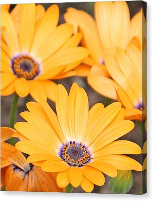 Orange With Purple Center Canvas Print by Becky Lodes