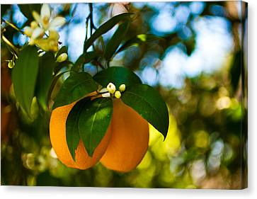 Oranges And Blossoms Canvas Print by Dorothy Cunningham