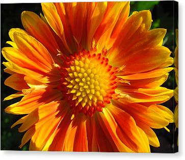 Canvas Print featuring the photograph Oranges And Lemons Gaillardia  by Ronda Broatch