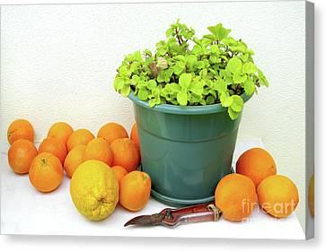 Oranges And Vase Canvas Print by Carlos Caetano