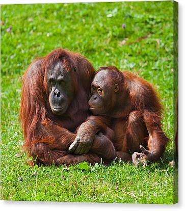 Orangutan Mother And Child Canvas Print by Gabriela Insuratelu