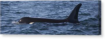 Orca Orcinus Orca Surfacing Showing Canvas Print by Matthias Breiter