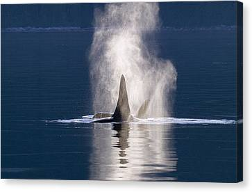 Orca Pair Spouting Southeast Alaska Canvas Print by Flip Nicklin