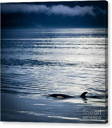 Orca Surfacing Canvas Print by Darcy Michaelchuk