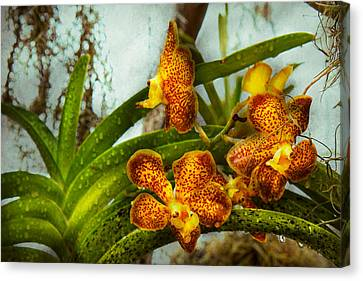 Orchid - Oncidium - Ripened   Canvas Print by Mike Savad