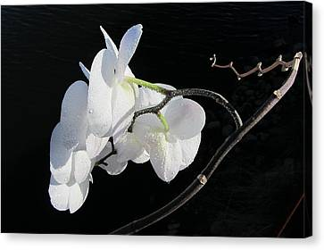 Orchid Above River Canvas Print by Steven A Bash