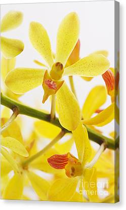 Orchid Canvas Print by Atiketta Sangasaeng