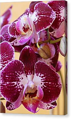 Orchid Blooms Canvas Print by Carmen Del Valle