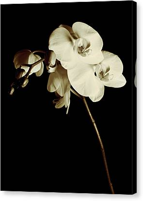 Orchid Canvas Print by James Bethanis