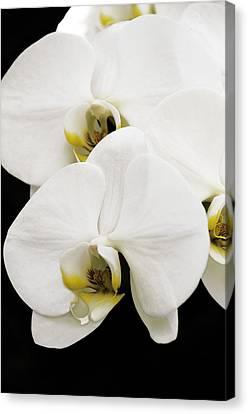Orchid Canvas Print by Paul Plaine
