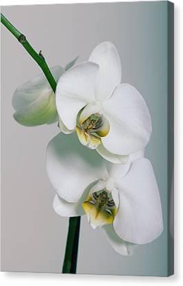 Orchidee Canvas Print by Falko Follert