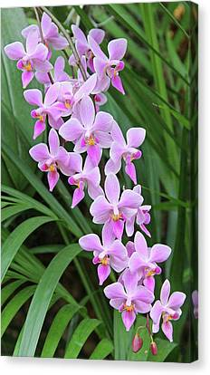 Orchids 15 Canvas Print by Becky Lodes