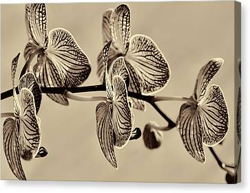 Orchids In Raw Umber Canvas Print by Kathy Clark