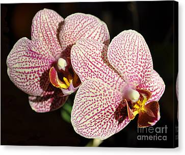 Orchids Canvas Print by Luke Moore