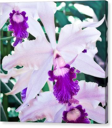 Orchids White And Purple Canvas Print by Steven Sparks