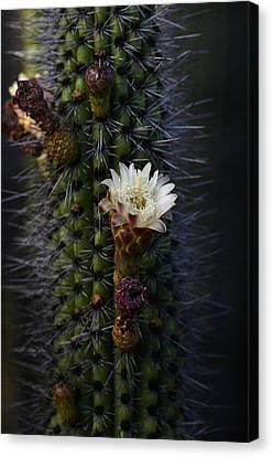 Organ Pipe Cactus  Canvas Print by Saija  Lehtonen