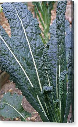 Organic Black Kale Cabbage Canvas Print by Maxine Adcock