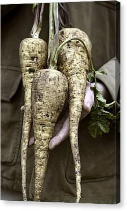 Organic Parsnips Canvas Print by Maxine Adcock