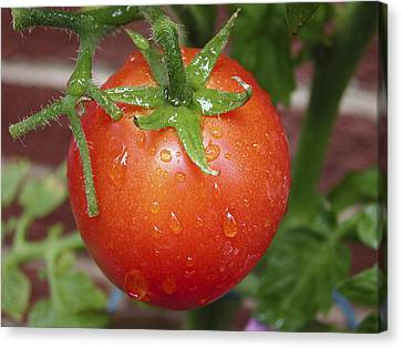 Canvas Print featuring the photograph Organic Tomato  by Nick Mares