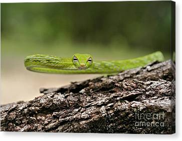 Whip-snake Canvas Print - Oriental Whip Snake  by Gary Bridger