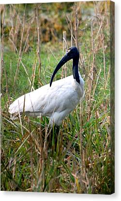 Canvas Print featuring the photograph Oriental White Ibis by Pravine Chester