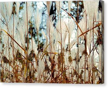 Ornamental Grass Canvas Print by Bridget Johnson